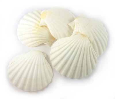 Sea Shell Scallop White Medium