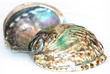 Sea Shell Haliotis Rufescens Green Abalone Large