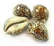Sea Shell Cowries Tiger Medium